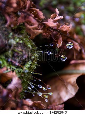 Drops of dew on the young shoots in spring moss in the forest