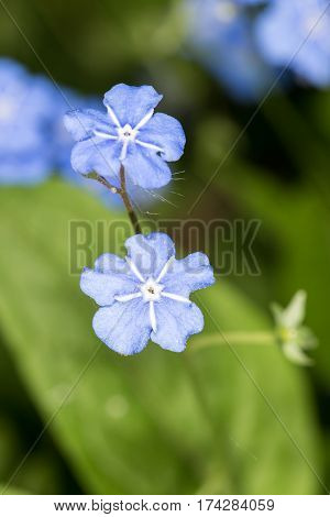 small blue flowers in spring close up (Omphalodes verna)