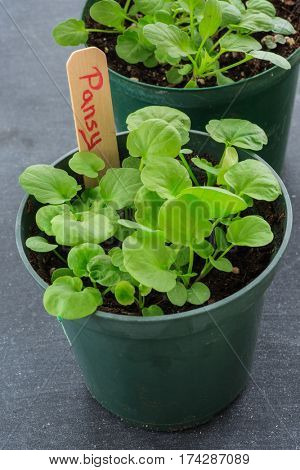Small home grown pansy seedlings growing a plastic pot.