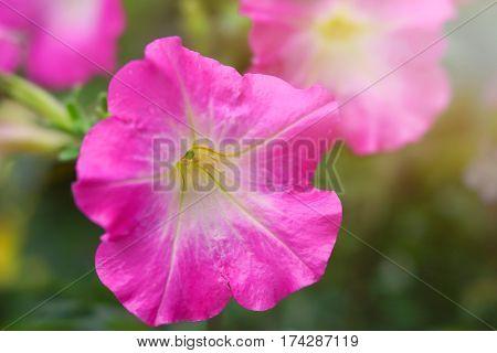 Pink petunia in the home garden.