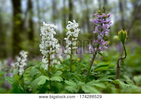 Violet and white birthwort flowers (Corydalis solida) in forest. Close-up.