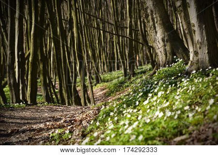 Enigmatic spring forest with many white little flowers on ground between grey trees