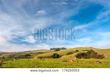 Highland cows on a field, California, USA.