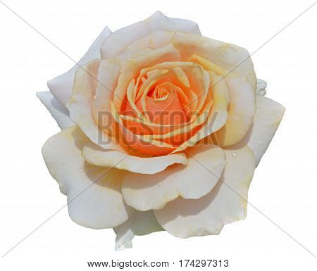 A close up of the flower white rose with raindrops on petals. Isolated on white.