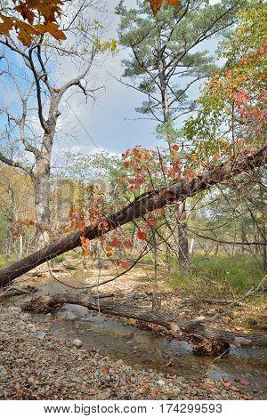 The autumn in Far-Eastern taiga wild grape on cedar.
