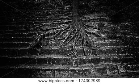 very large tree roots spread out on the concrete steps. grim beautiful picture. concept triumph of nature over human buildings. black and white photo.