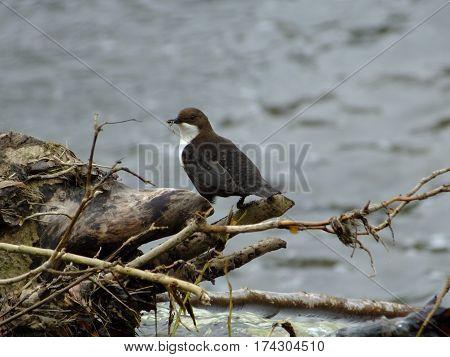 Dipper with nesting material in its beak