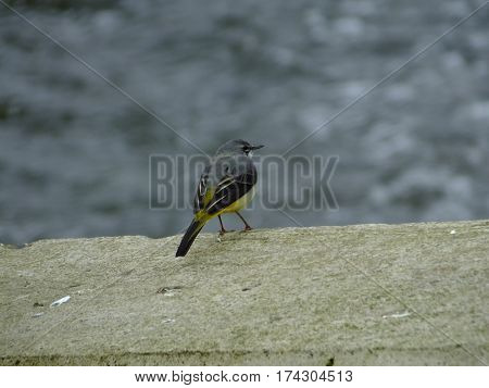 Grey wagtail perched next to a river