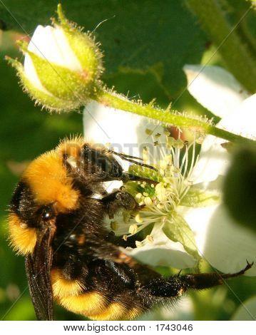 Raspberry Bee