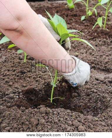 Bedding soil around the roots. Spring works on planting plants in the ground.