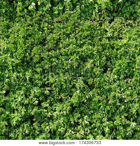 Repeat pattern of garden hedge