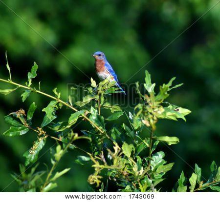 Male Bluebird On Watch Detail