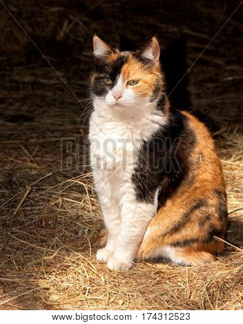 Beautiful calico cat against dark background, spot lit by skylight