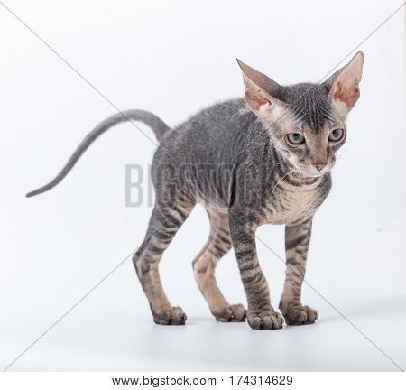 Sphinx Small Breed Kitten On A White Background.