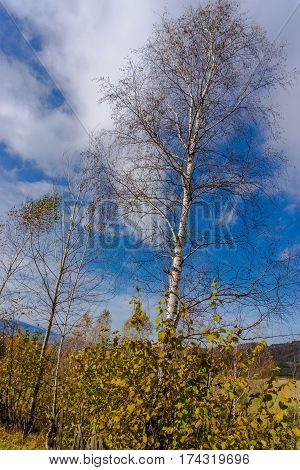 Bue sky and Tree birch in the spring season