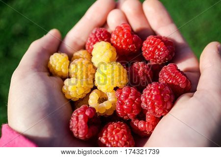 Amazind red and yellows rasberries at the garden