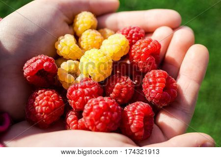 Beautiful rasberries red and yellow  from the garden