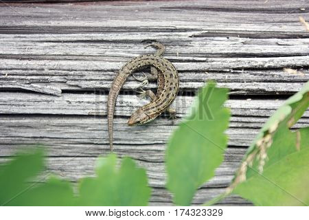 Lizard Reptile On A Wooden Board.