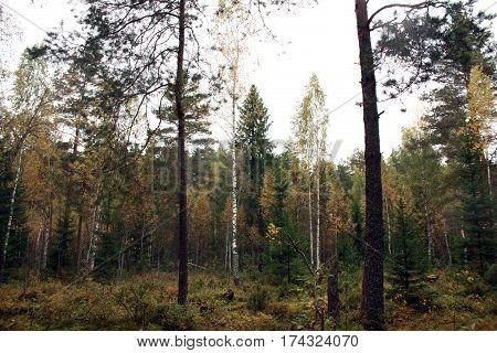 Autumn Forest. Autumn Trees Birch