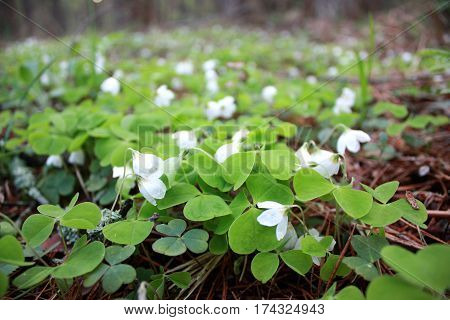 Oxalis Acetosella, Spring Flower Forest Glade With Small Buds