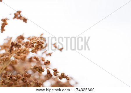 Golden Sorghum Bicolor, Dry Rice With The Sky.