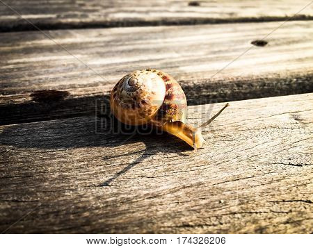snail slowly sneaking on a wood plank