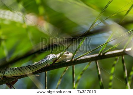 Snake (chrysopelea Ornata) On A Tree