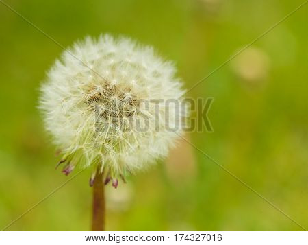 Detailed Closeup Of Fluffy Dandelion Seed Heads