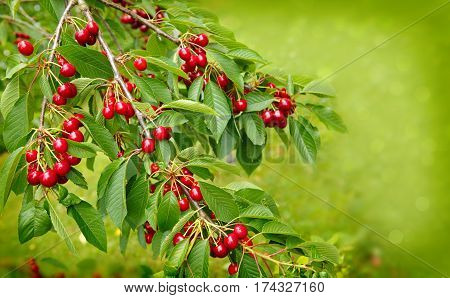 Cherries hanging on a cherry tree branch. Red and sweet cherries on a branch.