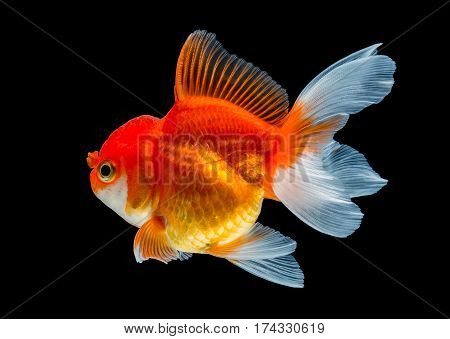 close up beautiful goldfish isolated on black background.
