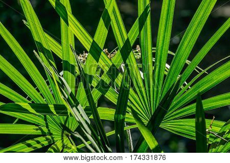 close up green leaf background lady palm or Bamboo palm leaf (Rhapis exclesa PLAMAE)