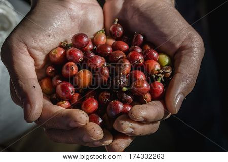 Close up red berries coffee beans on hand dark tone