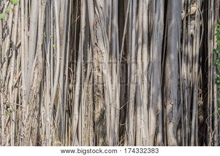 close up background of Roots Bodhi Tree