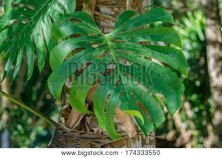 Close up Green Leaf Monstera deliciosa Hurricane crop / split leaf Philodendron Monstera deliciosa Liebm Araceae.