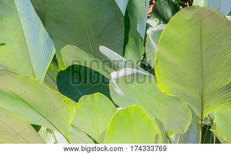 Close up green cigar leaf calathea luted (Aubl)