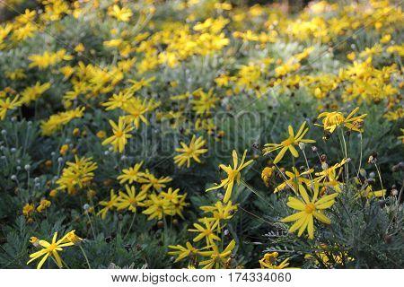 Fotografia de naturaleza, flores amarillas sobre fondo verde poster