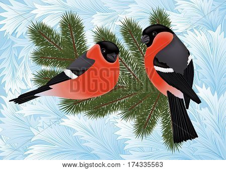 Illustration of bullfinch birds on fir tree branches with hoarfrost background