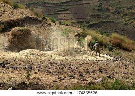 The Cereals harvest in Ethiopia in Africa