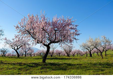 Field with almond blossoms in the region of Los Velez in Almeria, Spain