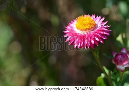 straw flower or everlasting or paper daisy flower and copy space for add text