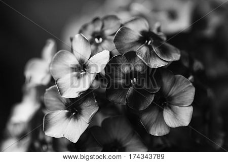 Black white photo beautiful Phlox violet flowers. Noisy film camera effect. Soft focus, shallow depth of field