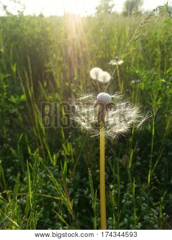 Close up of a dandelion (Traxacum officinalis) on natural background