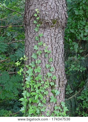 Ivy winds along the trunk of a tree in the forest
