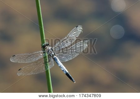 Dragonfly lattice or a big blue dragonfly (lat. Orthetrum cancellatum) is a dragonfly of the genus Orthetrum the Real family of dragonflies (Libellulidae) with eyes the color of turquoise