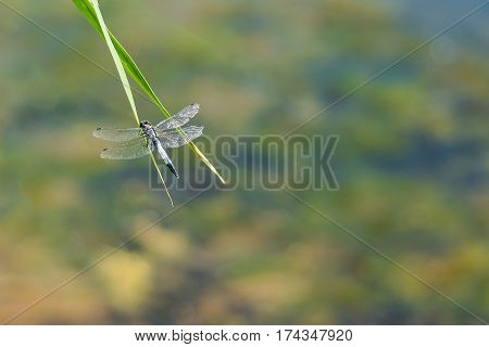 Dragonfly lattice or a big blue dragonfly (lat. Orthetrum cancellatum) is a dragonfly of the genus Orthetrum (Orthetrum) the Real family of dragonflies (Libellulidae)