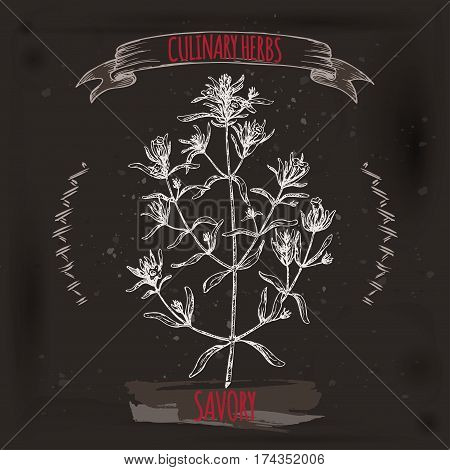 Satureja hortensis aka summer savory vector hand drawn sketch. on grunge black background. Culinary herbs collection. Great for cooking, medical, gardening design.