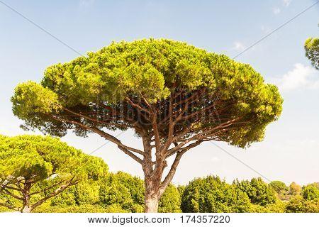Stone Pine Or Pinus Pinea