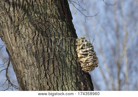 Stepwise build-up mushroom (tinder) on a winding tree bark.