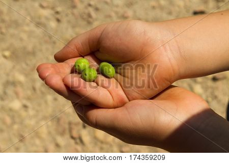 Young child holding three immature olives in his hand.