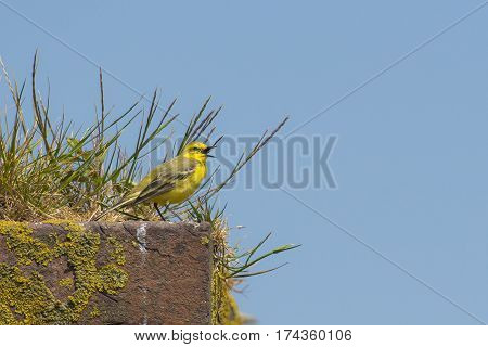 Yellow Wagtail (Motacilla flavissima) male sitting on a Wall with Grass and whistling